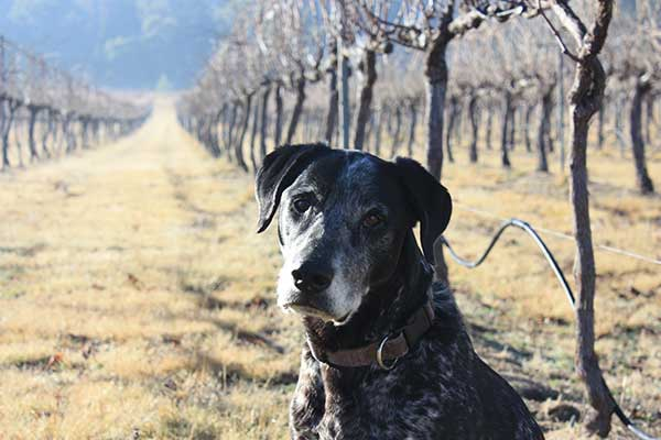 Ralph in the winter vineyard