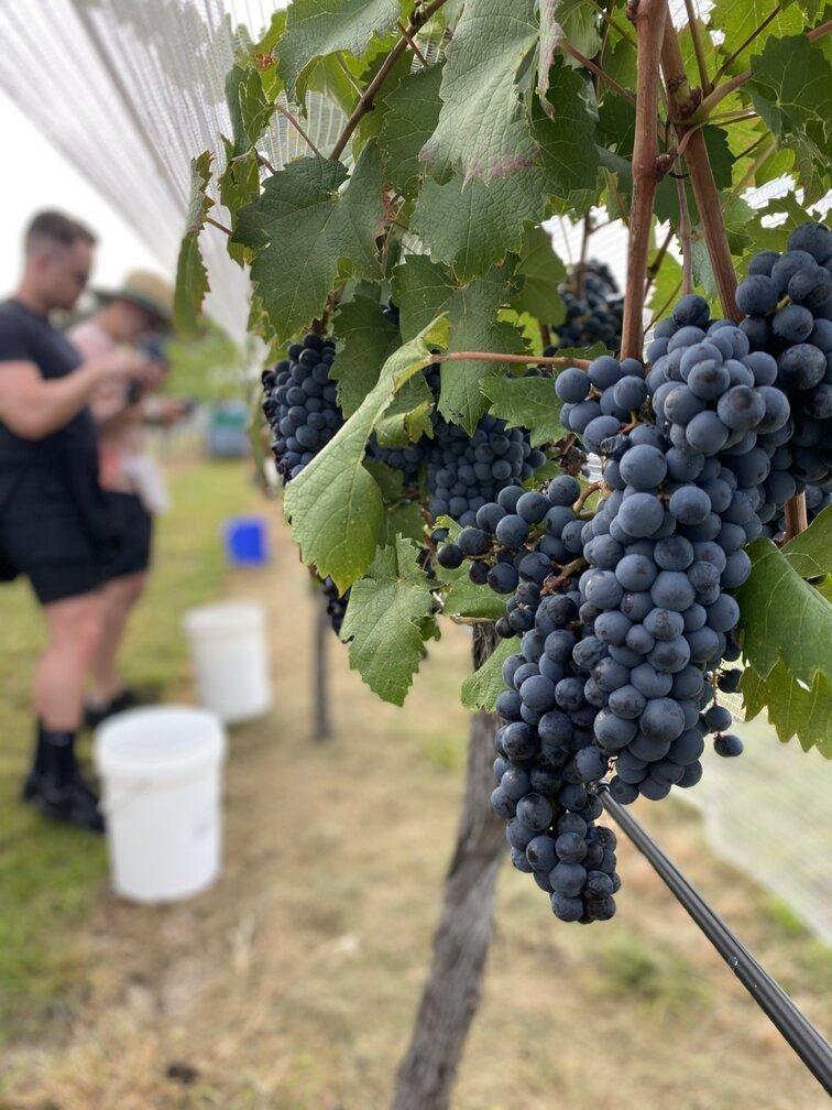 In the vineyard for harvest